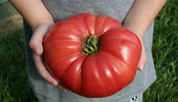 Samo je u ovome tajna: Ako uradite OVO onda će paradajz u vašoj bašti rasti kao LUD!